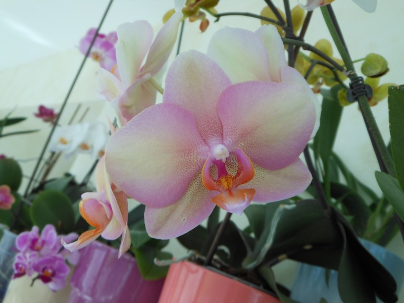 Les orchidées de nounoucaro MAJ 08/05/14 - Page 5 Phal_810