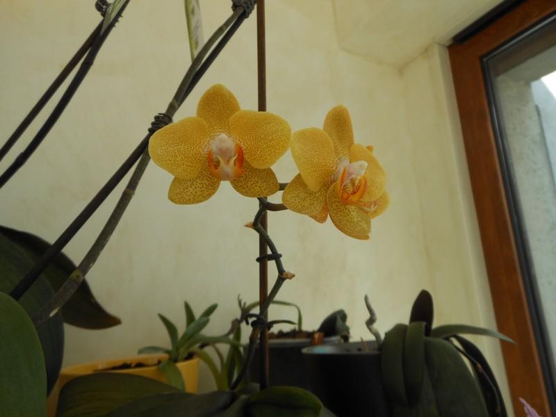 Les orchidées de nounoucaro MAJ 08/05/14 - Page 4 Phal_910