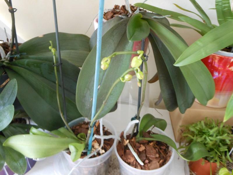 Les orchidées de nounoucaro MAJ 08/05/14 - Page 4 Promes11
