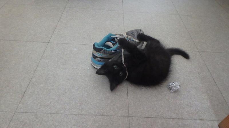 martin - MARTIN,chaton mâle noir,né le 08/06/16 P8090411