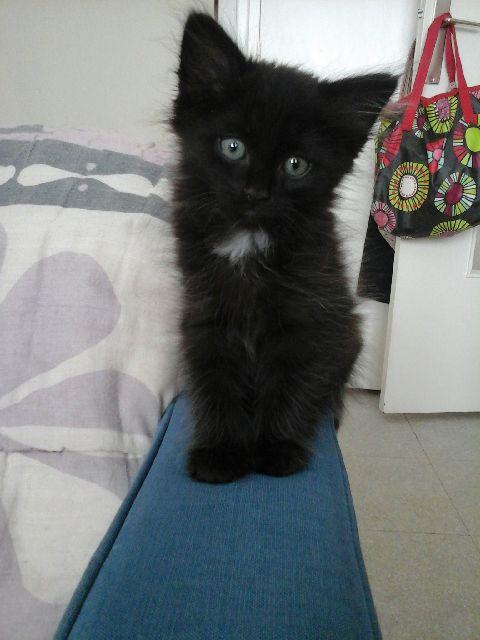 martin - MARTIN,chaton mâle noir,né le 08/06/16 V_fe2511