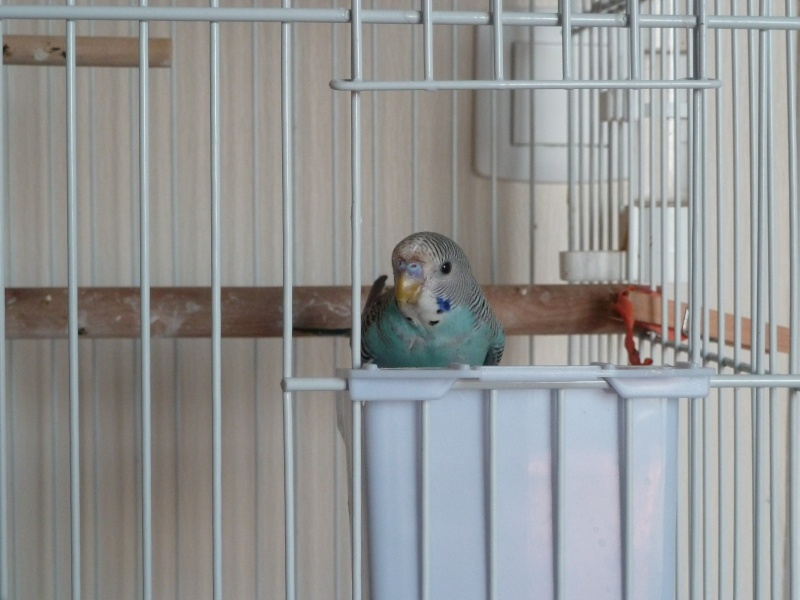 sexage jeune perruche bleue turquoise P1040810