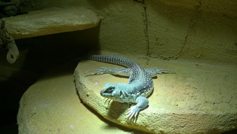 Lampe solar raptor avec terrarium reptiles planet (Dipsosaurus Dorsalis) Wp_20111