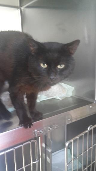 Perdu chat noir sur Hautmont (59330) 20160712