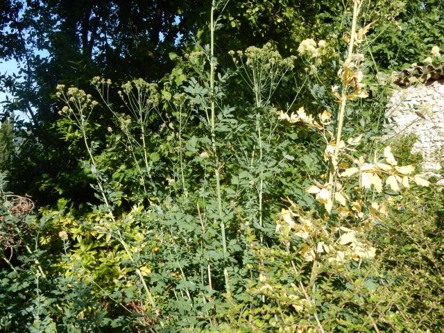 Thalictrum aquilegifolium - pigamon à feuilles d'ancolie Dscn2713