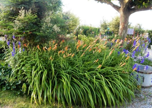 Hemerocallis - des variétés - Page 5 Dscn2716