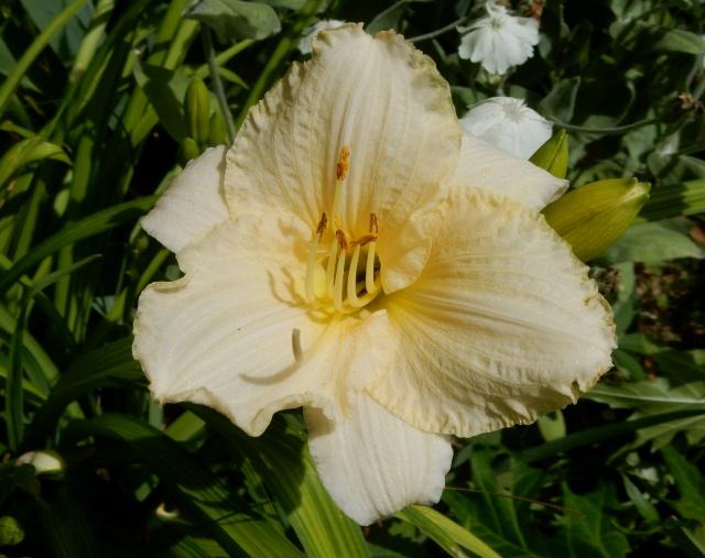 Hemerocallis - des variétés - Page 5 Dscn2717
