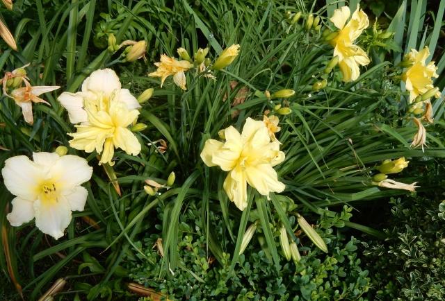 Hemerocallis - des variétés - Page 5 Dscn2718