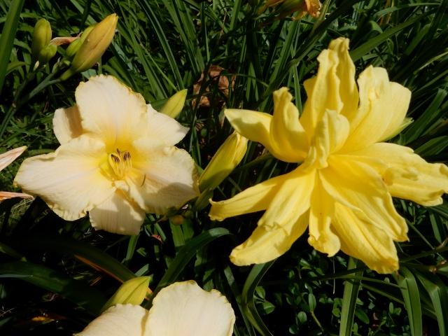 Hemerocallis - des variétés - Page 5 Dscn2721