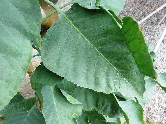Nicotiana glauca Dscn2916