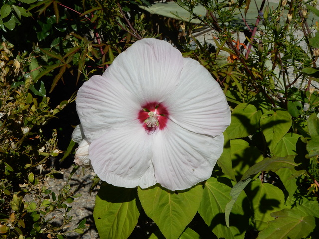 Hibiscus moscheutos - Page 3 Dscn2918