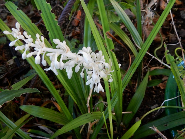 Ophiopogon jaburan  Dscn2924