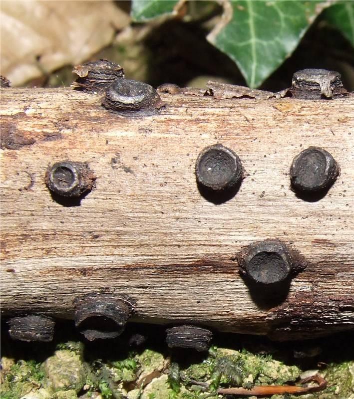 les champignons par ordre alphabétique. - Page 9 A_diat10