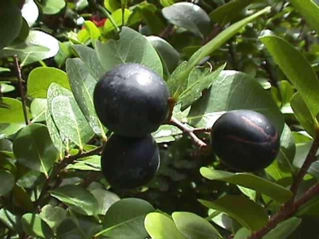 Fleurs,....fruit,.....tout ce qui se mange,...se boit....ou qui vient de la nature.......... - Page 20 A_icaq10