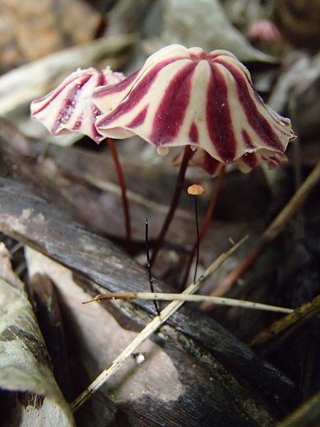 les champignons par ordre alphabétique. - Page 9 Ch_mar10