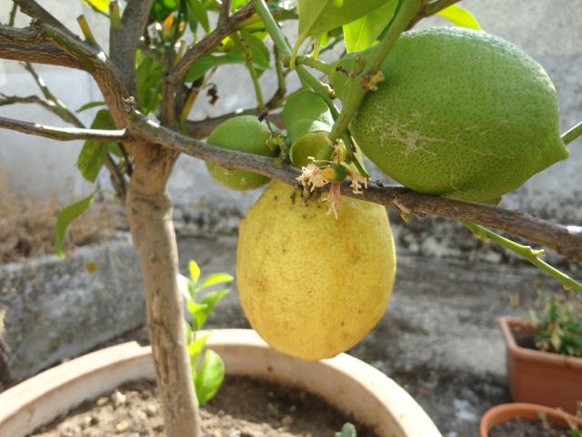 Le citron Dsc01715