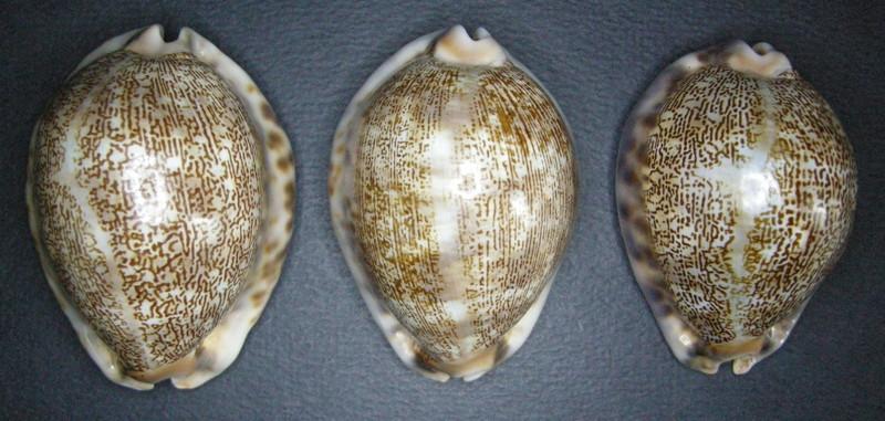 Mauritia arabica asiatica f. gibba  - Cohen, 1949  Arabic18