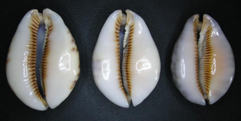 Mauritia arabica asiatica f. gibba  - Cohen, 1949  Arabic19