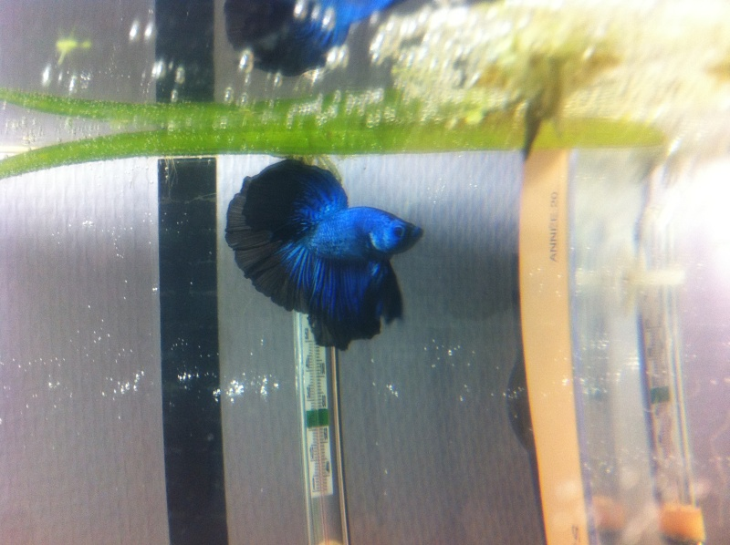 HM blue lace * HMDT black lace, MrAlti Img_2111