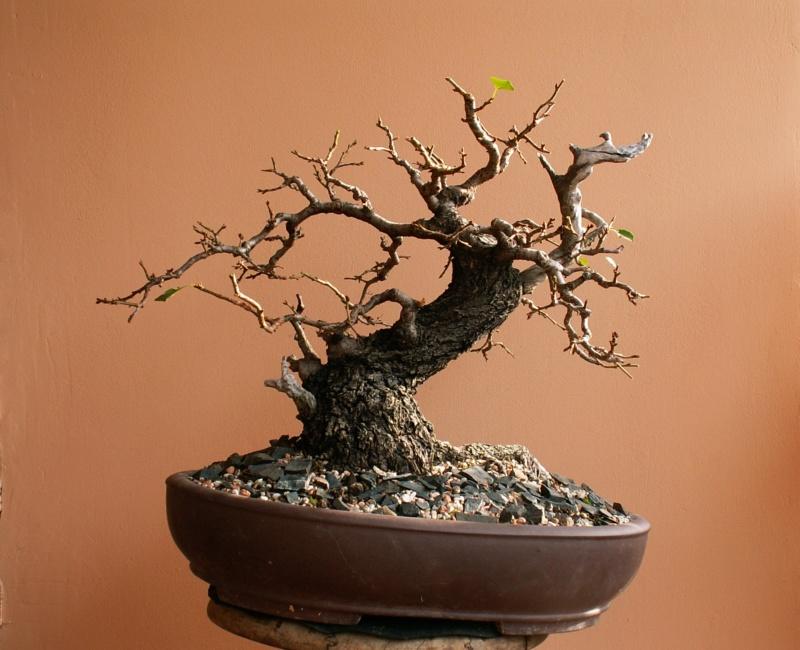 Prunus mahaleb_Zorro - Page 2 00210