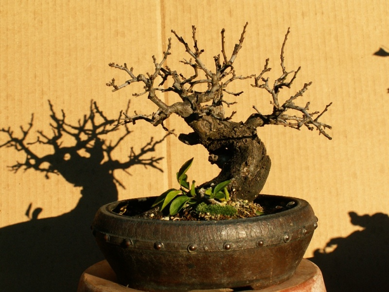 Shohin Blackthorn 00511