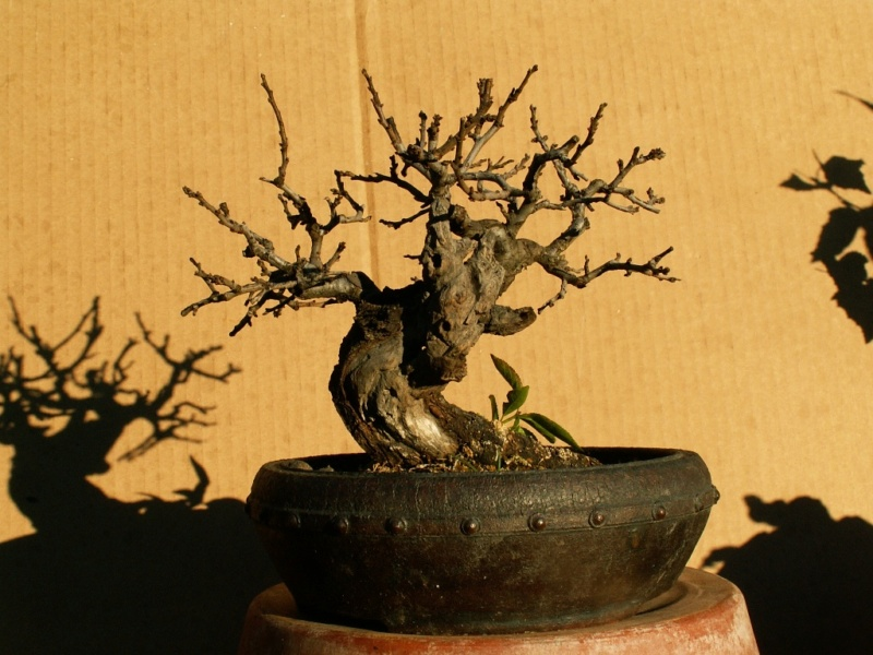 Shohin Blackthorn 00910