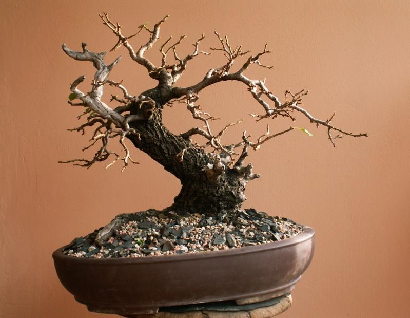 Prunus mahaleb_Zorro - Page 2 01111
