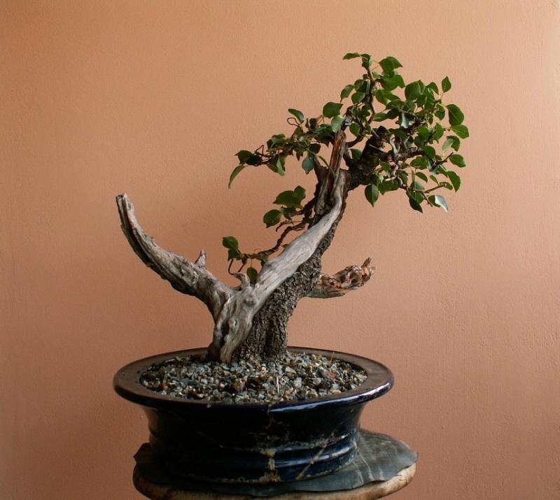 Prunus mahaleb_The Hug 011_b10