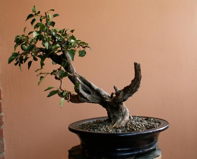 Prunus mahaleb_The Hug 012_b11