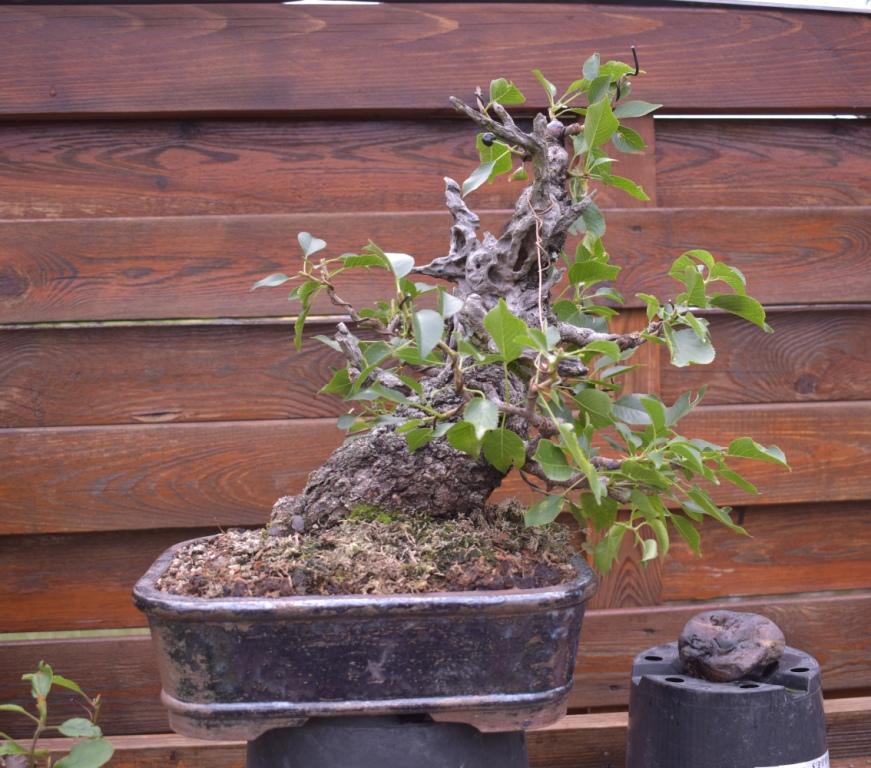 Prunus mahaleb No 2 012_co10