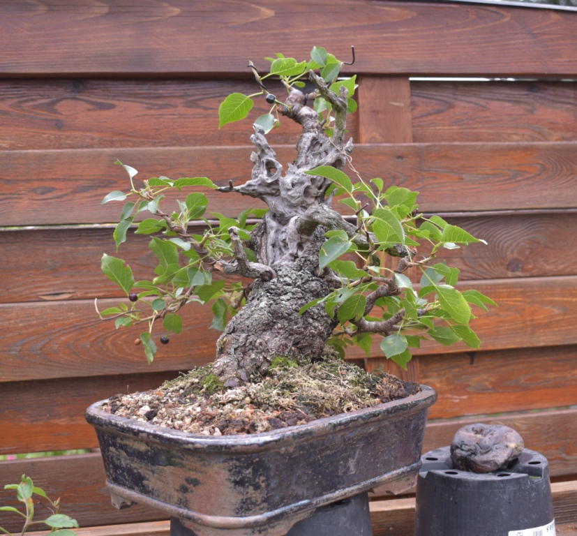 Prunus mahaleb No 2 014-co10
