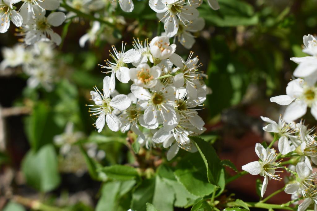 Prunus mahaleb_Zorro - Page 2 014_ib11