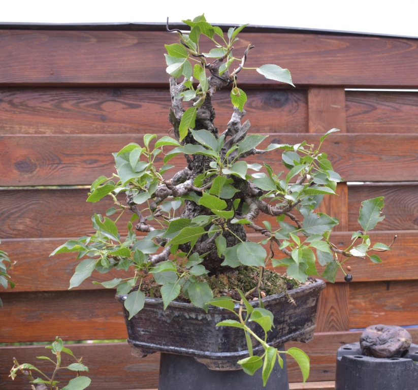 Prunus mahaleb No 2 016-co10