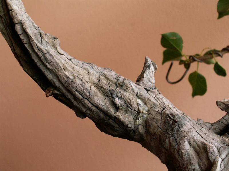 Prunus mahaleb_The Hug 017_b10