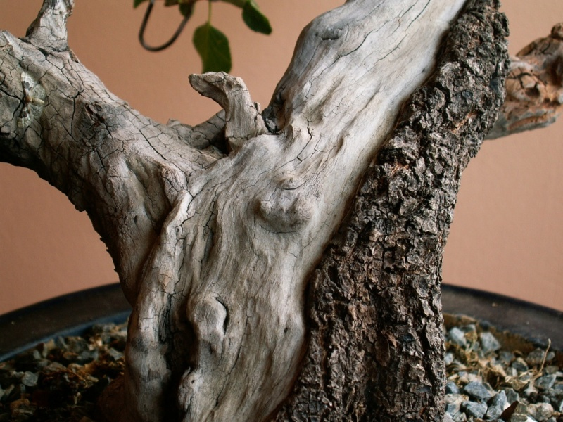 Prunus mahaleb_The Hug 019_b11
