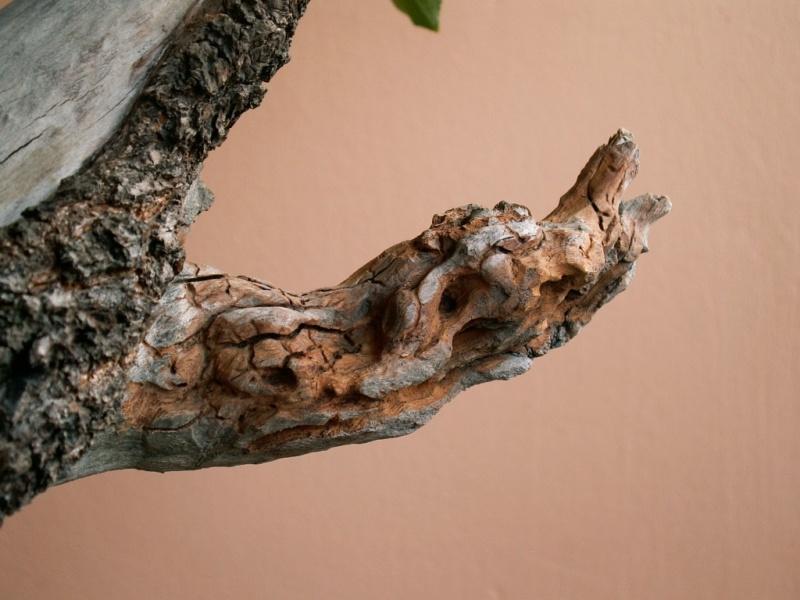 Prunus mahaleb_The Hug 021_b10