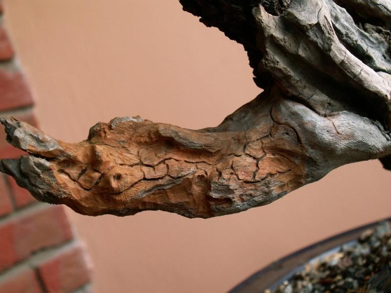 Prunus mahaleb_The Hug 026_b10