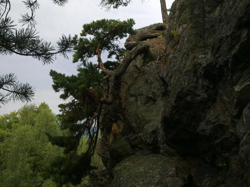 Cascade_Pinus sylvestris 04082011
