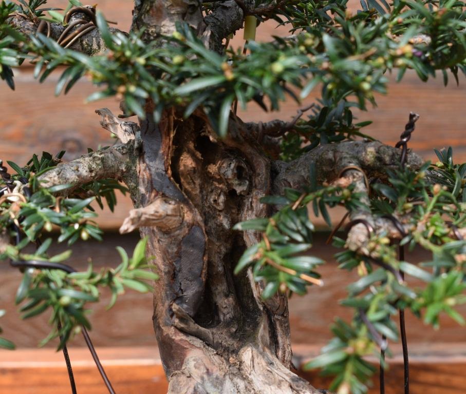 Overgrown shohin_Yew 163_co10