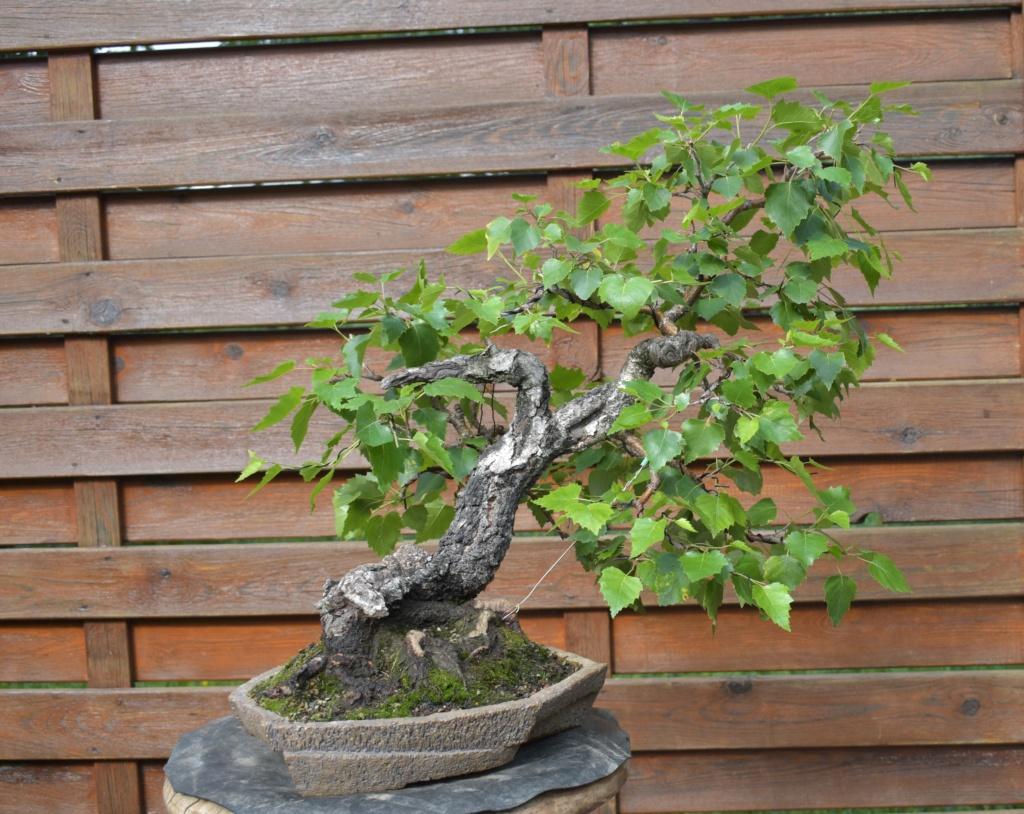 Slanting birch 226_re11