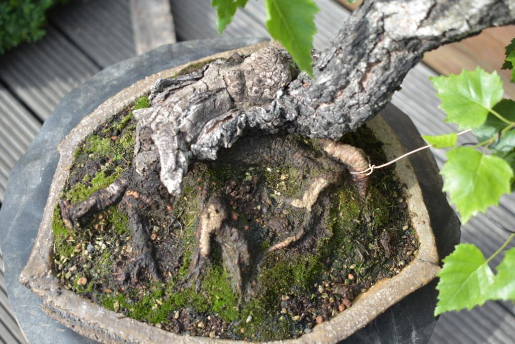 Slanting birch 22911