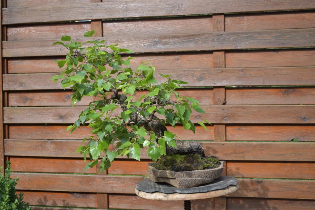 Slanting birch 23310