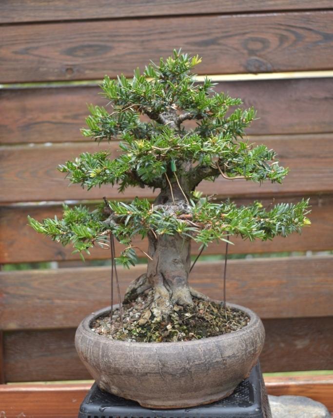 Overgrown shohin_Yew 393_co10