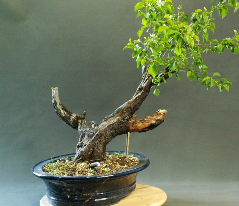 Prunus mahaleb_The Hug Front13
