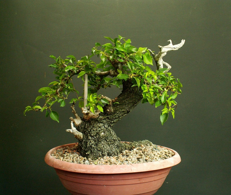Prunus mahaleb_Zorro Front_14