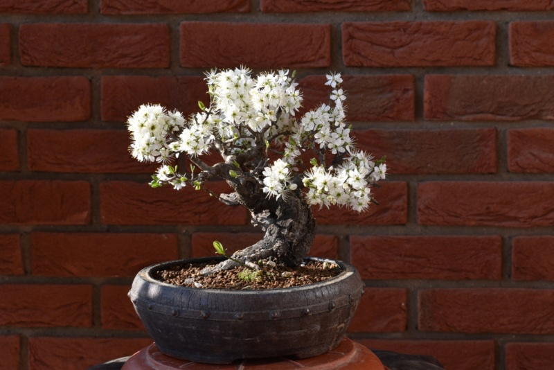 Shohin Blackthorn Nik_0110