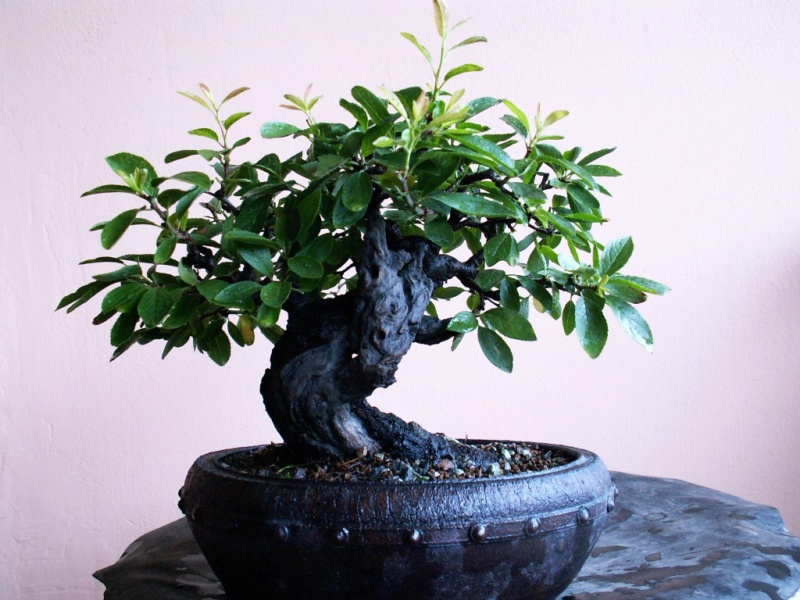 Shohin Blackthorn Partia10