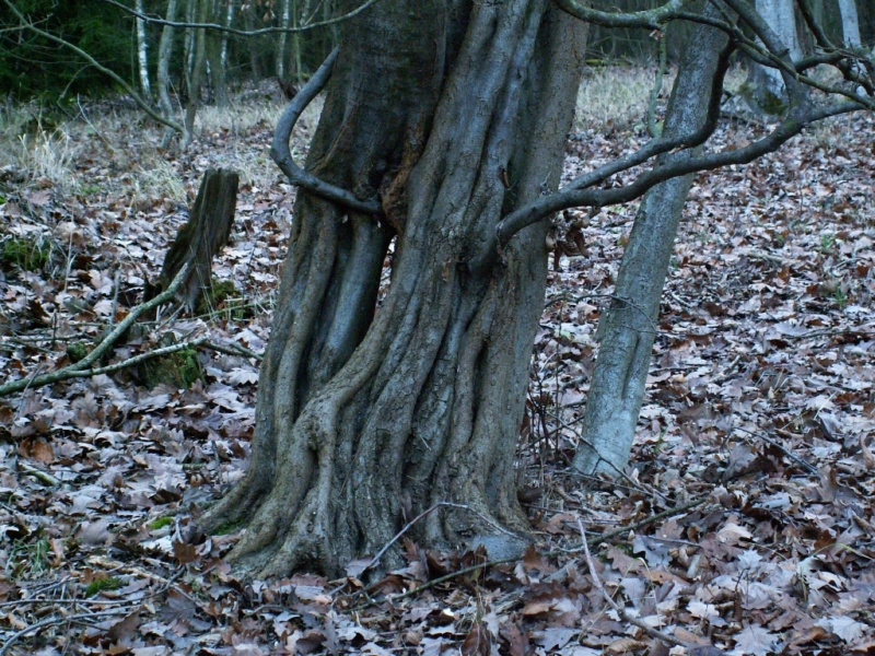 A sinewy hornbeam_Wanted_preferably live Pict0010