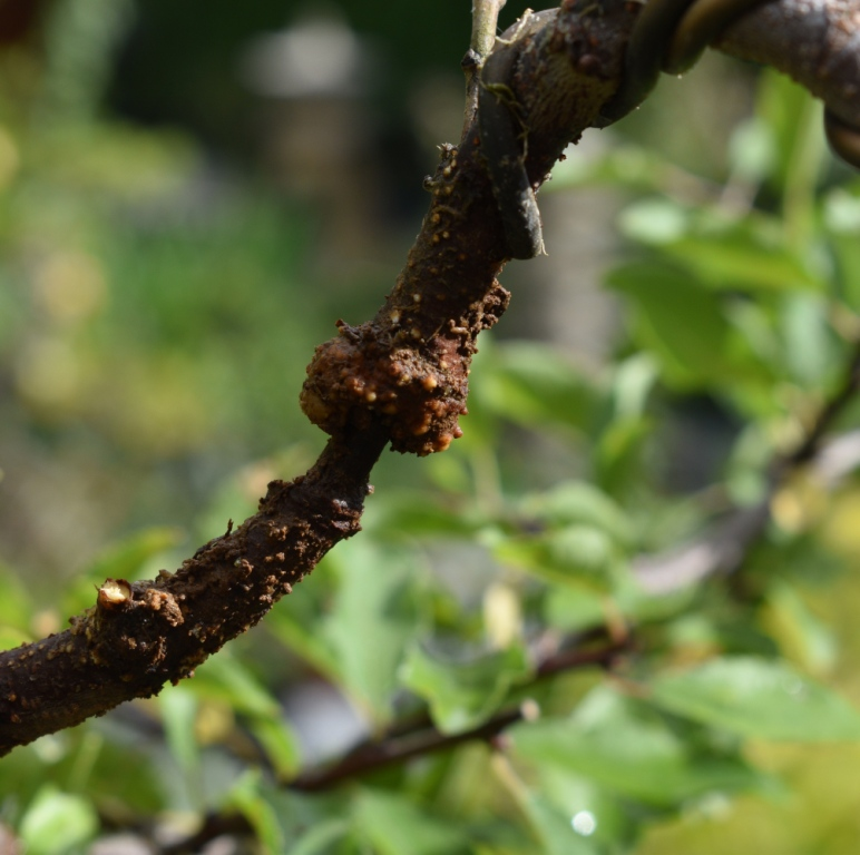Prunus spinosa_Air layer?  Please share your experience. Prunus10