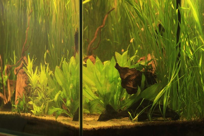 [résolu]Un grand bac et des petits poissons : taeniacara candidis - Page 4 Img_7710